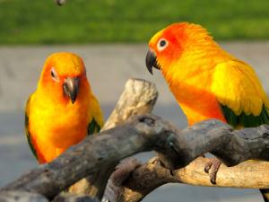 Sun parrot